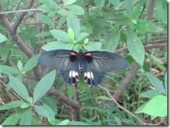 ⑪温暖化で生息域が北上しているナガサキアゲハ