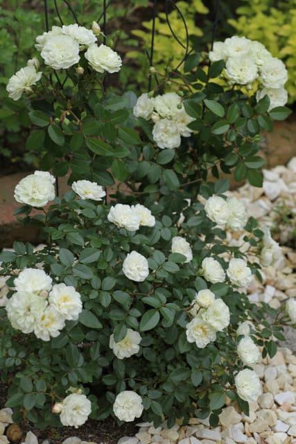 遅咲きのバラ、グリーン・アイスとボニカ'82、そしてポンポネッラ~2021一番花