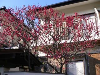 鎌倉の梅その4