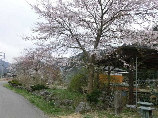 オカリナの里の桜