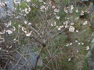 早咲きの桜に見とれた
