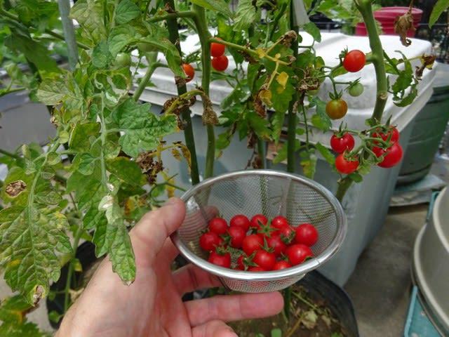 トマト 家庭 菜園 プランター
