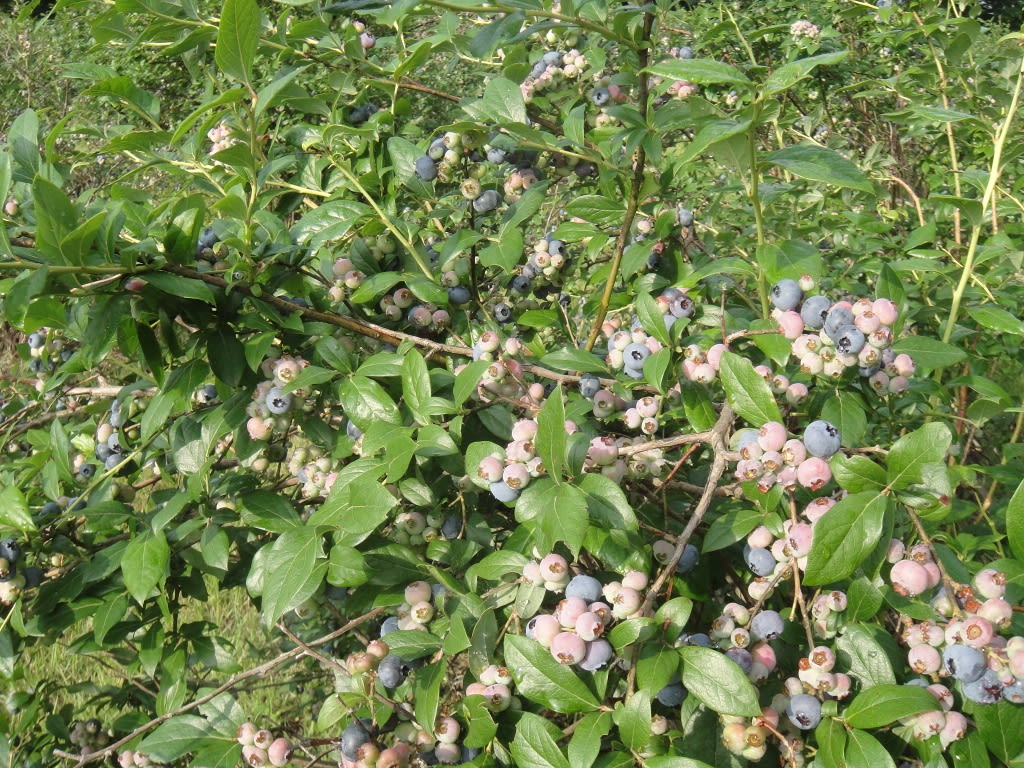 blueberry_picking