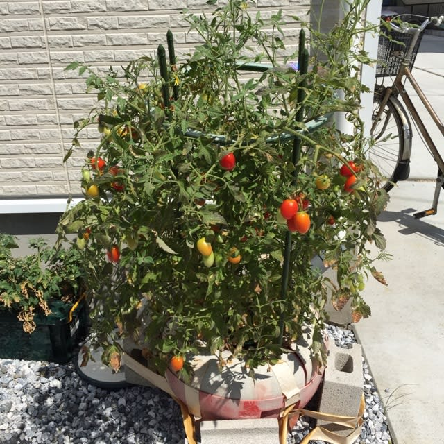 ならない トマト 赤く
