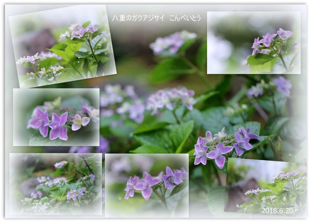 我が家の6月の花8八重のガクアジサイ こんぺいとう 雨のしずく
