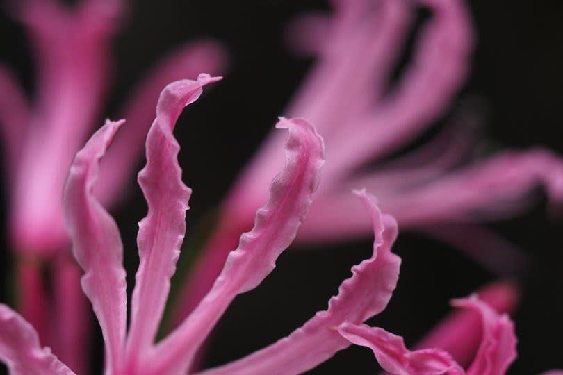 ネリネの花びら