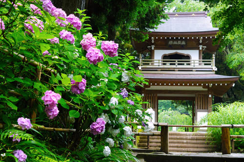 浄智寺の紫陽花