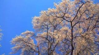 続長野牧場の桜