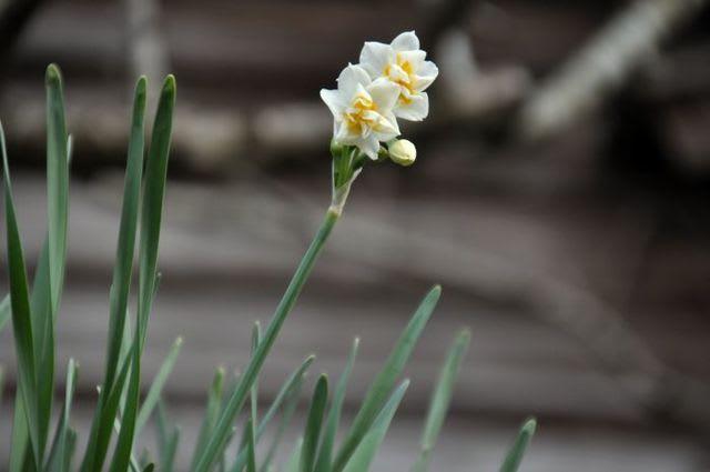 水仙八重咲き