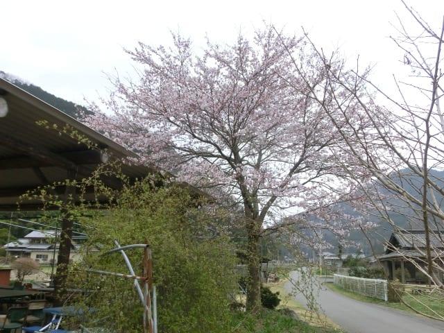 大屋根の桜