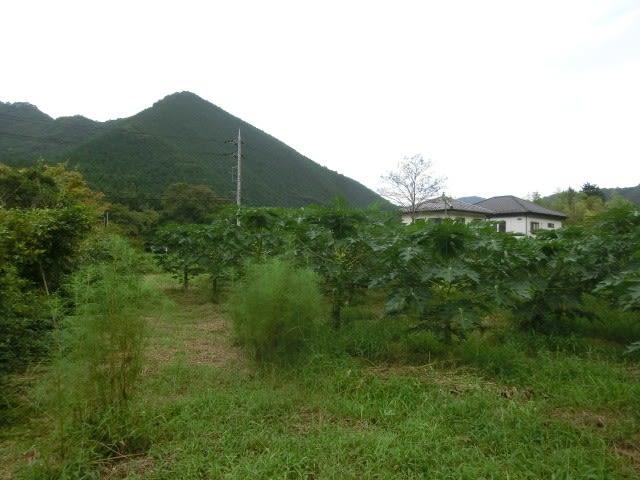 青パパイヤ畑
