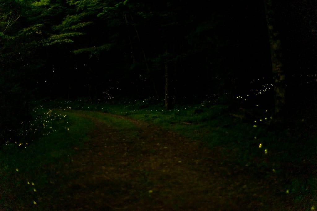 ヒメボタルが乱舞する写真