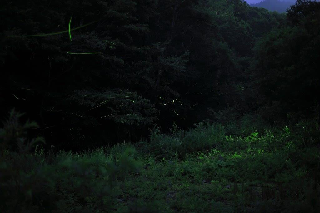 ゲンジボタル(志賀高原)の写真