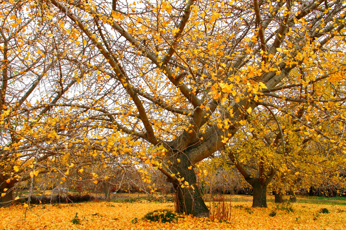 愛知県稲沢市祖父江町はイチョウの黄葉に埋もれていました ...