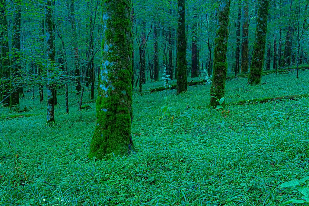 ブナの原生林の写真