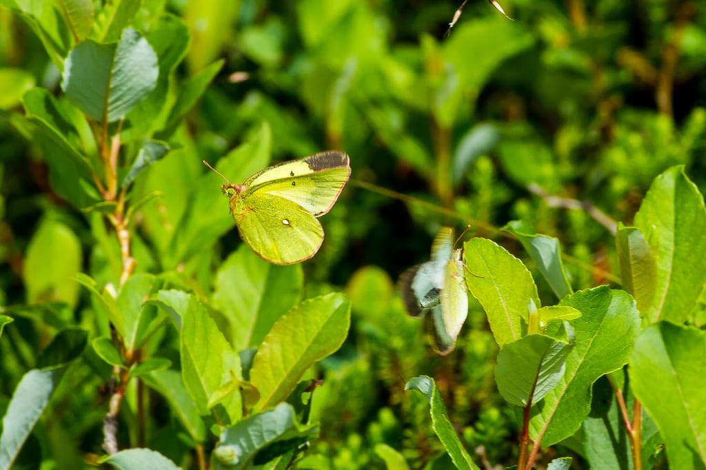 ミヤマモンキチョウの写真