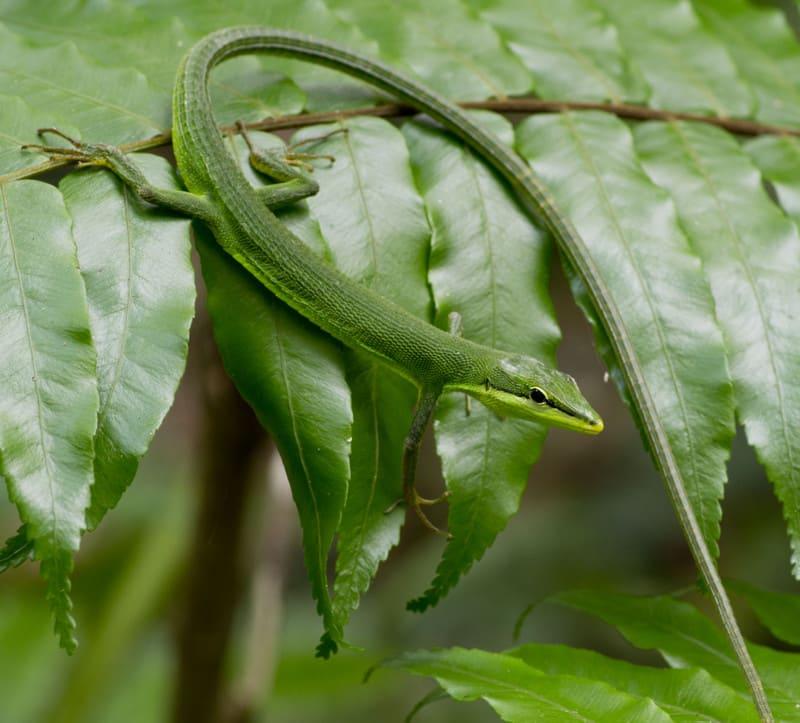 サキシマ カナヘビ