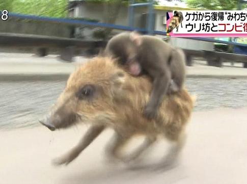 ウリ坊と子猿に新しいパートナー...