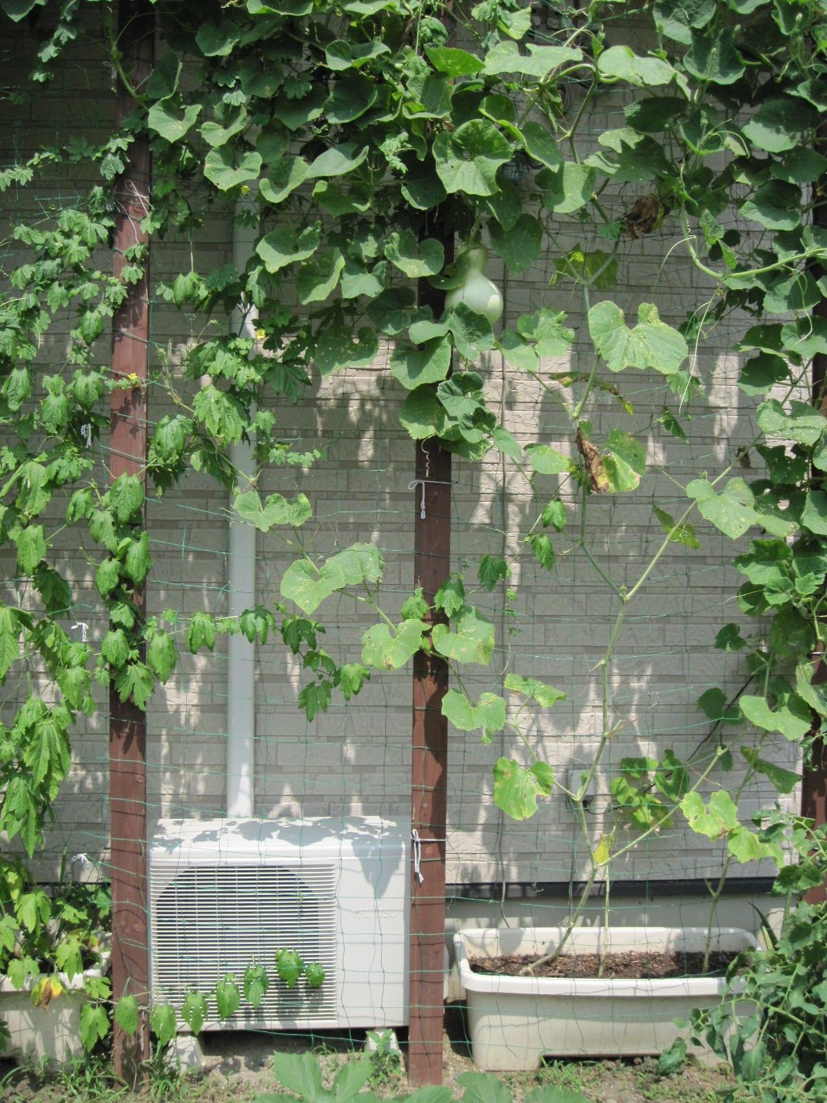 我が家の緑のカーテン・7.2010/07/30の画像
