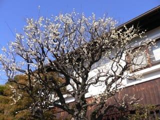 鎌倉の梅その3