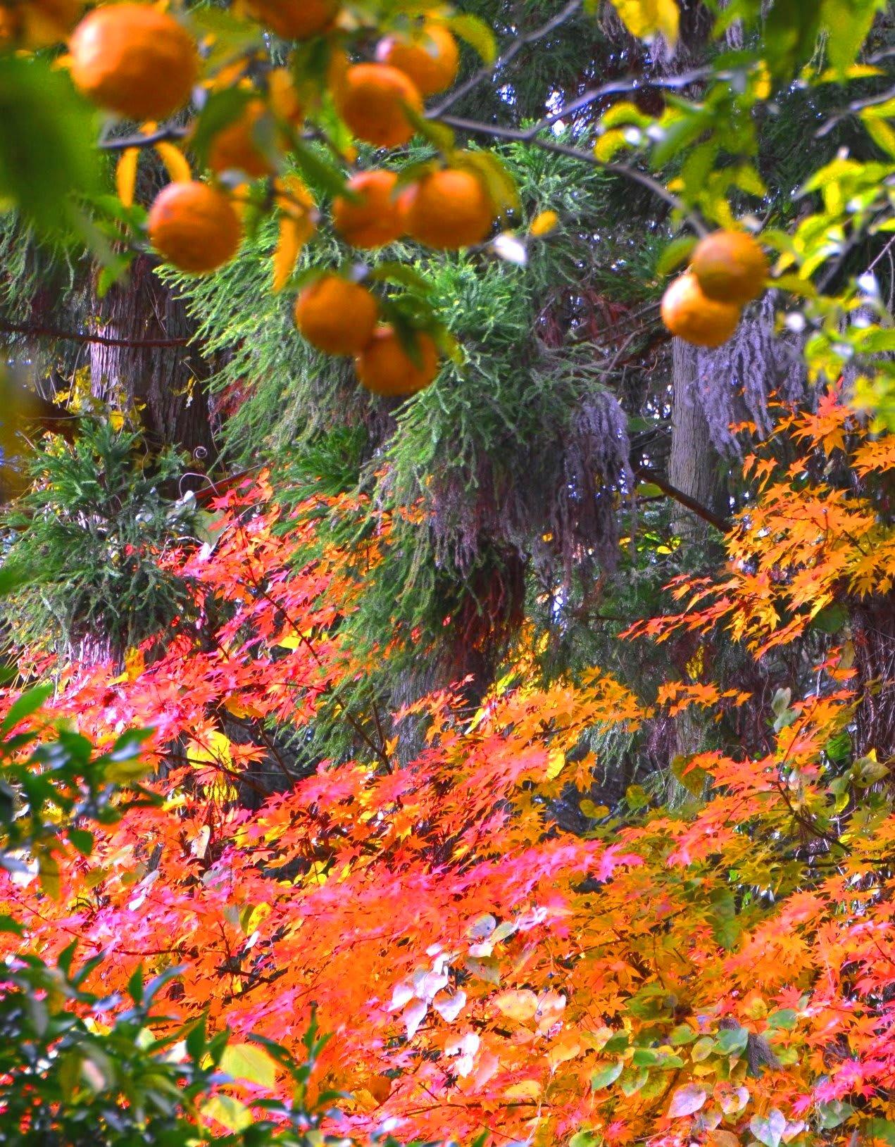 柚子の里、秋