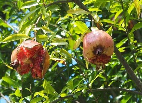 石榴(ザクロ)の実が割れるころ , ぶな太の四季折々