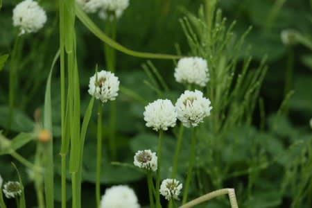 クローバー 言葉 の 四葉 花