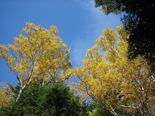 上高地の紅葉「黄」