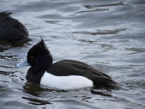 諏訪湖のキンクロハジロ(金黒羽白)の雄