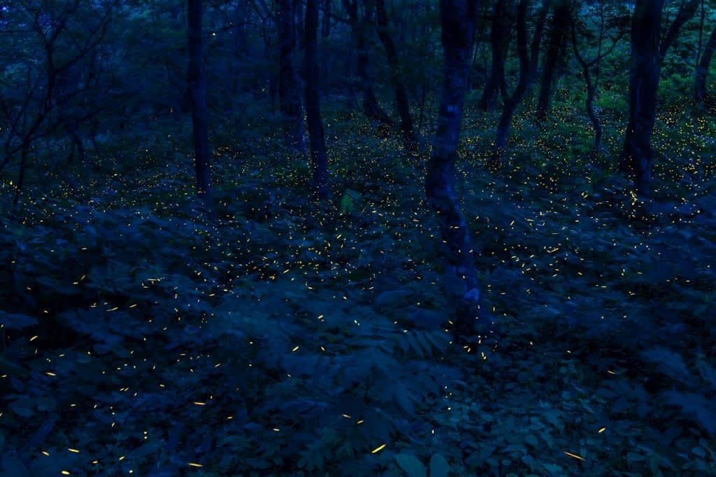 ヒメボタル(折爪岳)の写真