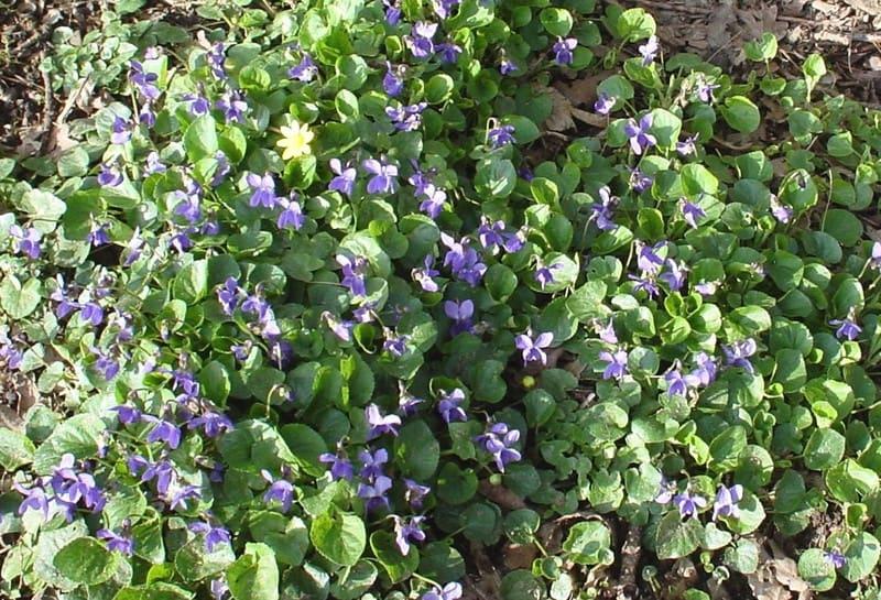 Violettes_3