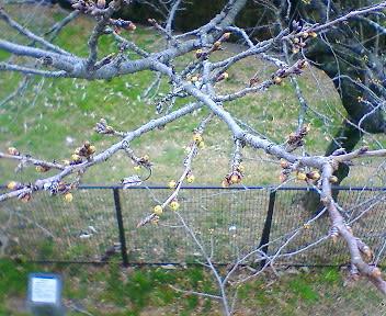 多摩湖橋 桜