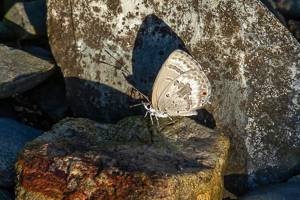 クロマダラソテツシジミの写真