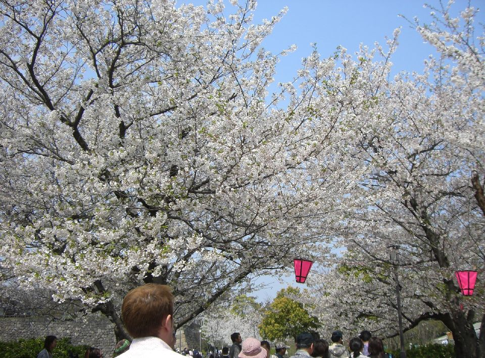 城内の桜〔1〕