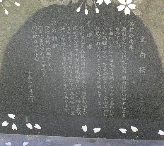 太白桜@甲府市歴史公園