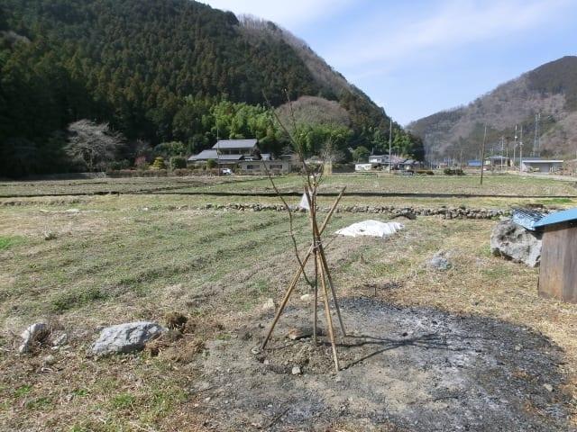 佐野桜の苗木