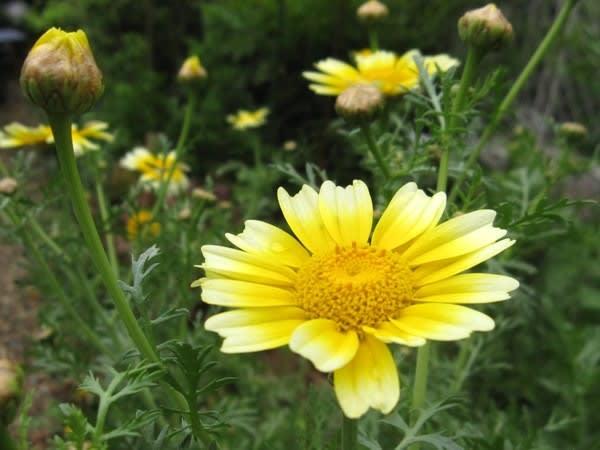 <シュンギク(春菊)> 菊に似た明るい黄花、白い覆輪のある花も - く~にゃん雑記帳
