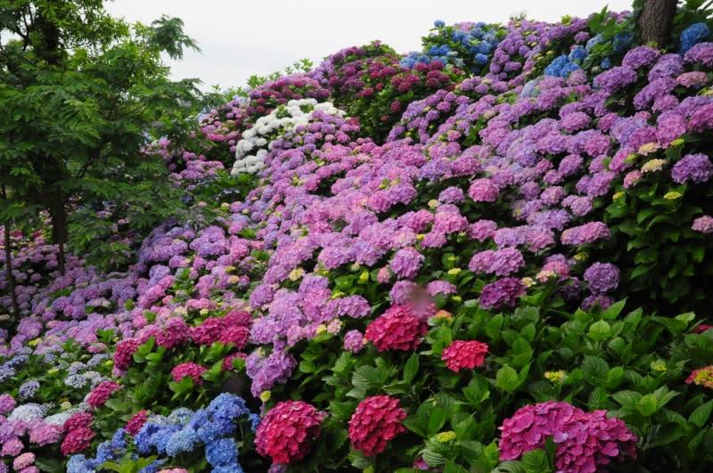 桃源郷の紫陽花(宮崎県門川町) - ぶらり写真旅