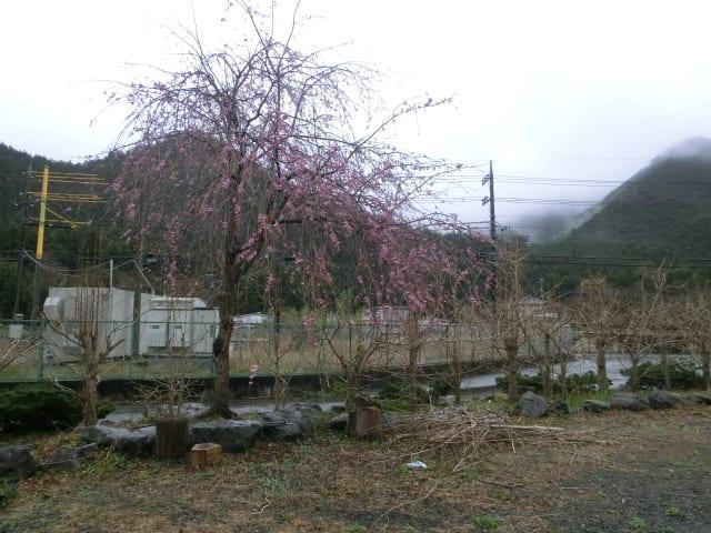 しだれ桜の木