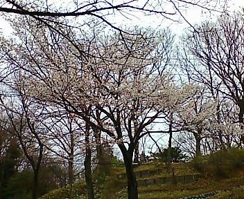 多摩湖 狭山湖 桜
