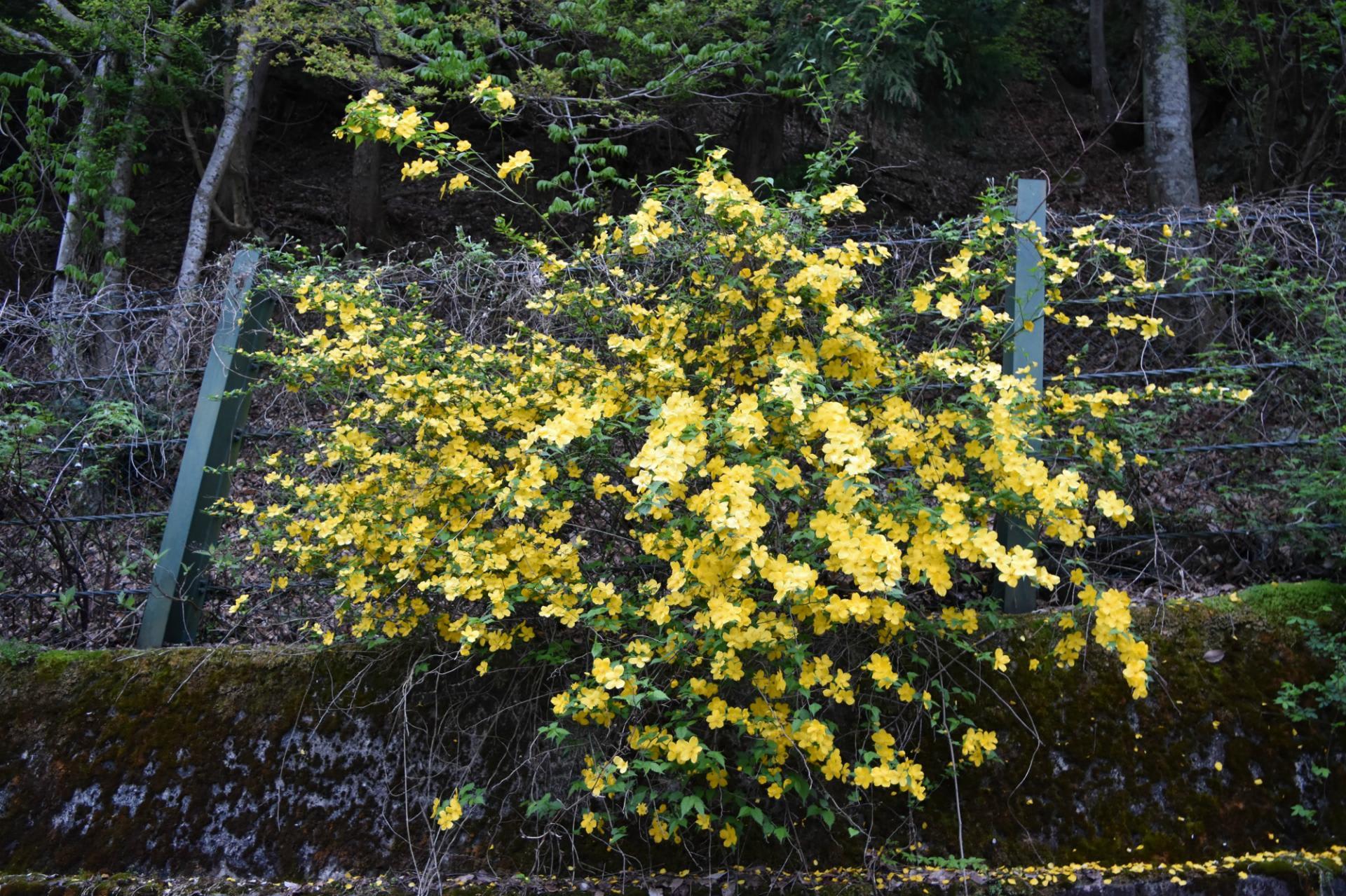 丹波山村丹波川保之瀬へ釣り ヤマブキが咲くと食いが良くなる ...