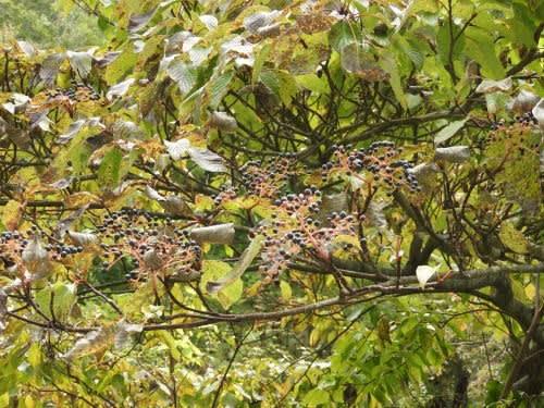 高ボッチ高原・鉢伏山で最近見る事の出来る実・種 ミズキ(水木)