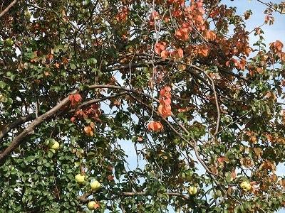 花梨の実もたわわ