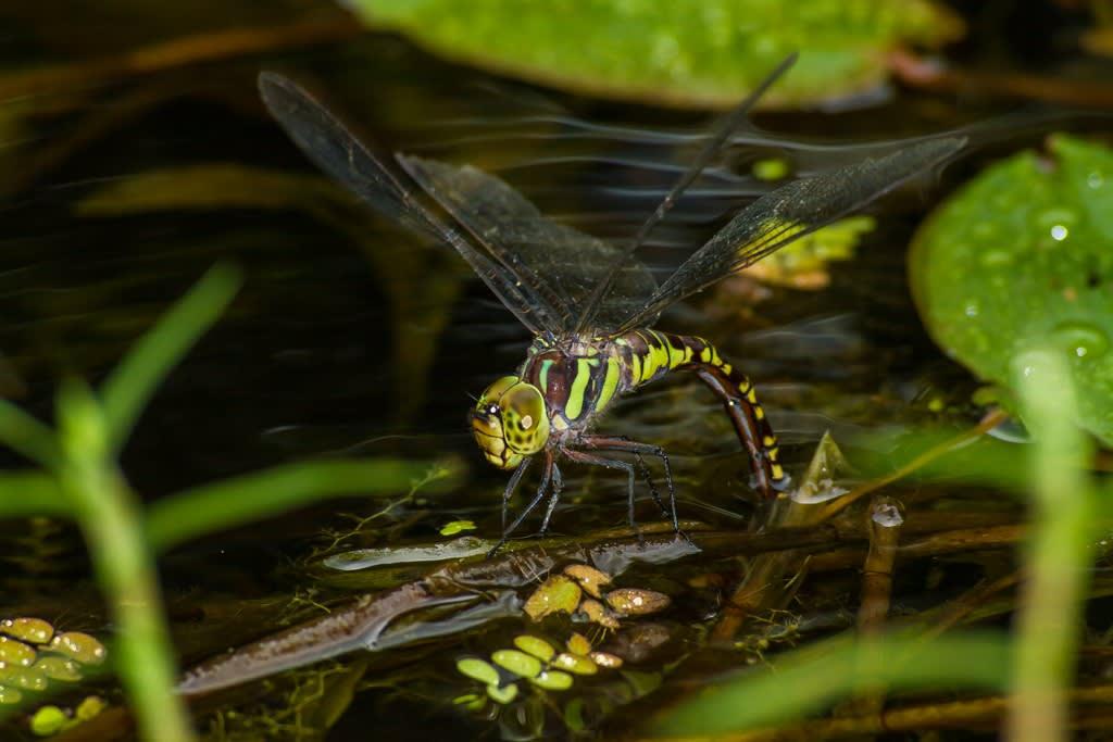 オオルリボシヤンマのメスの胸部の斑が黄緑色のタイプの写真