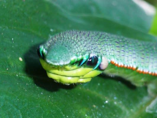 単眼(脱線) - 昆虫複眼の複眼...