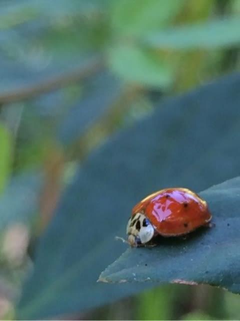 寿命 てんとう 虫