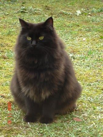 里親さん募集中。 長毛の黒猫「くろくろ」 , いつか、どこかに