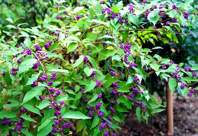 紫式部 花 食べる