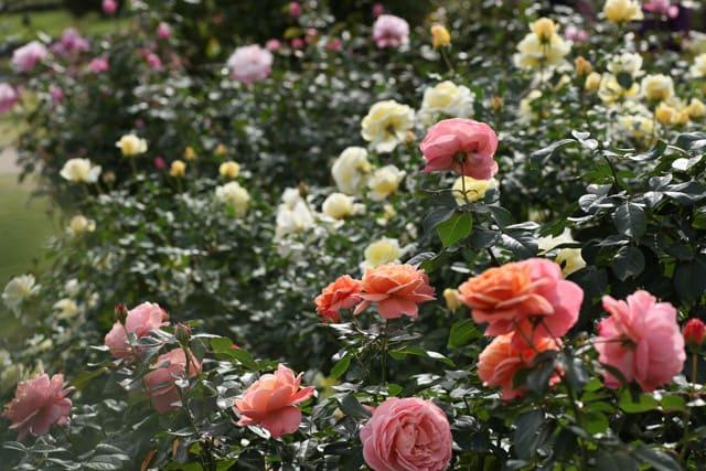 越後丘陵公園 香りのばら園