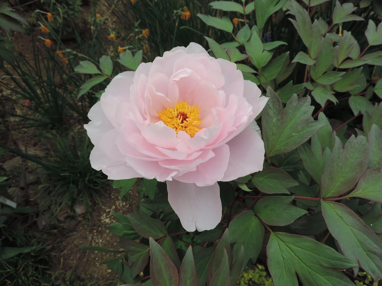 四季芙蓉_牡丹「玉芙蓉」が開化 - 四季彩ガーデンにようこそ